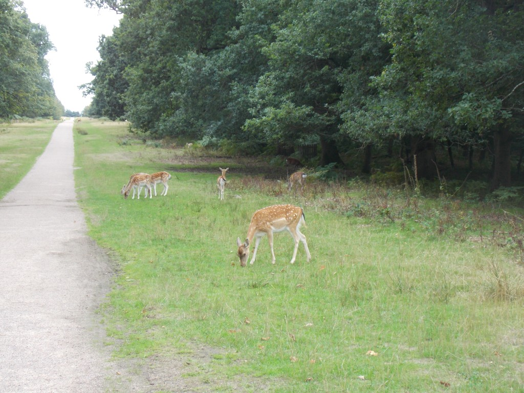 A park with loads of deer eating the grass.
