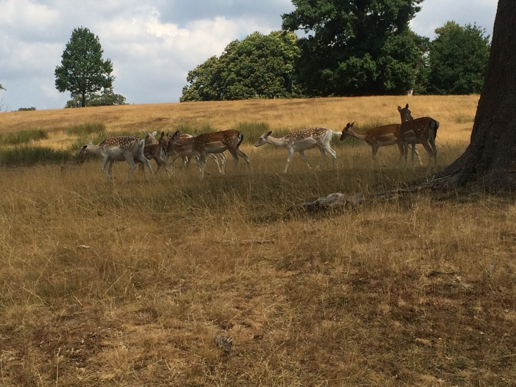 A nature picture of deer in Knole Park, Sevenoaks.