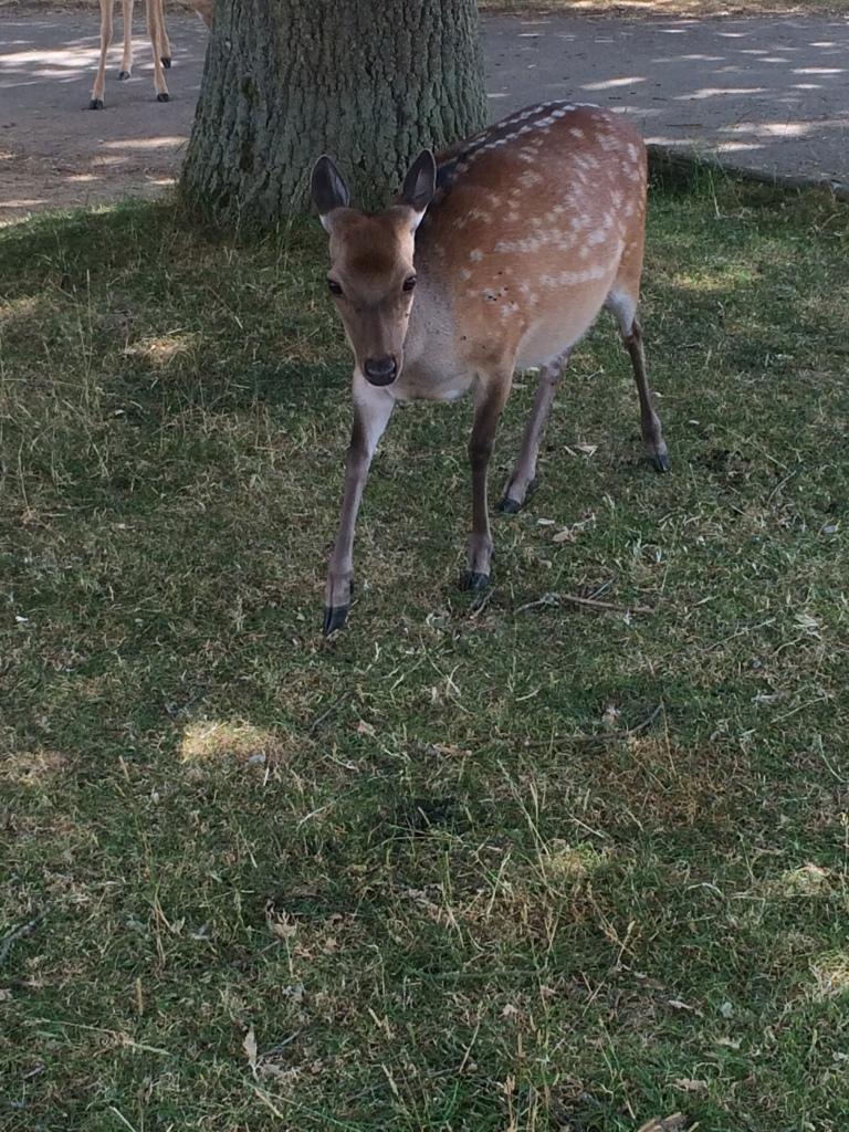 A baby deer walking around in Knole Park, Sevenoaks UK.