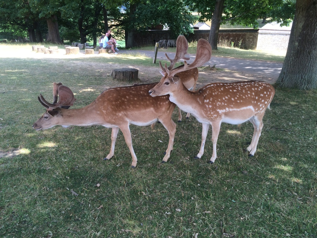 Two deers standing behind one another in Knole Park, Sevenoaks UK.