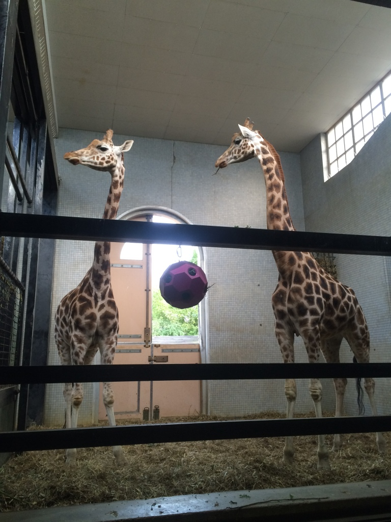 Two Giraffes in London Zoo standing inside their pen.