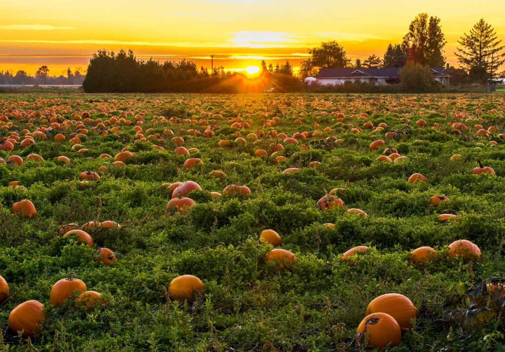 A field of pumpkins with the sun setting in the background